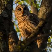 owl-3564